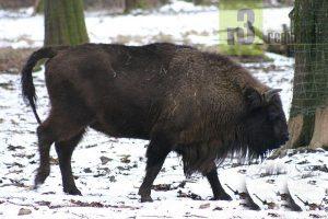 Tierische Begegnung: Bison im Wildpark Weiskirchen-Pattweiler.