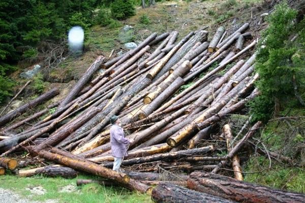 Baumbestand ohne Nadeln - Schlechte Wettkampfbedingungen für die Athleten Symbolfoto