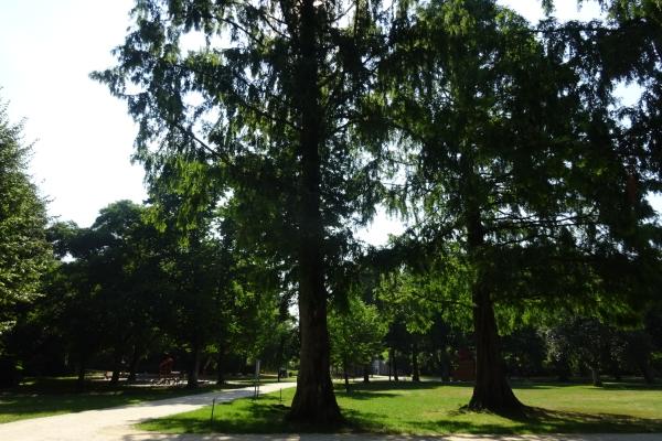 Der Urweltmammutbaum ist seit Jahrzehnten im Stadtpark Merzig beheimatet.  Foto: hb