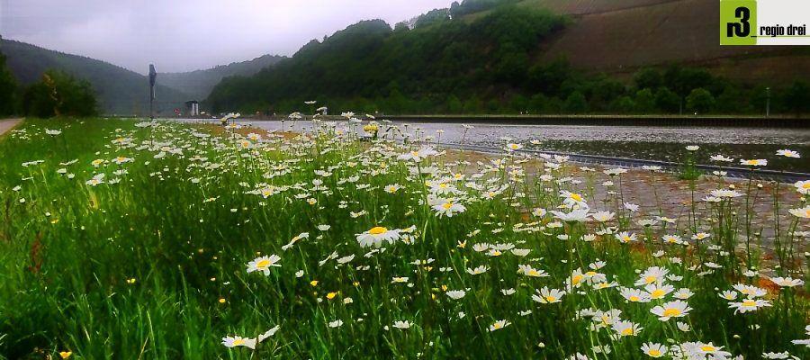 Die Natur erblüht im Mai: Das Saarufer in der Nähe der Staustufe Serrig