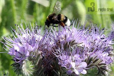 Phacelia tanacetifolia: Die Pflanze ist für zahlreiche Insekten, besonders Bienen, eine hervorragende Nahrungsquelle.