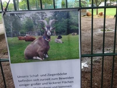 Ein Foto am Gehege im Merziger Tierpark.  Im Sommer befinden sich Schaf- und Ziegenböcke zur  Landschaftpflege auf externen Weiden.