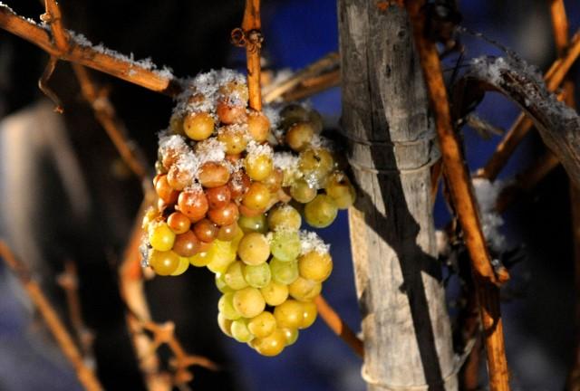 Eisweintrauben am Stock. Bildquelle: Deutsches Weininstitut (DWI).