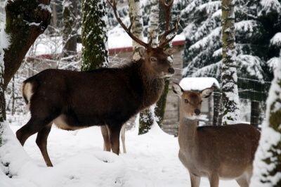 Sikawild im Wild- und Wanderpark Weiskirchen. Foto: ©hb