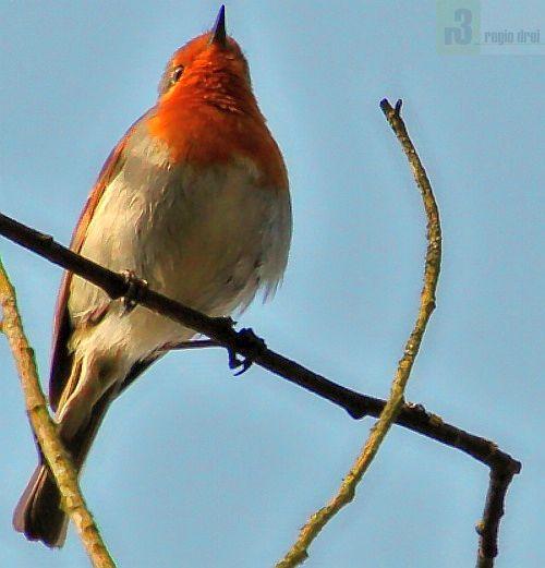 Das Rotkehlchen trägt den Titel Vogel des Jahresbereits schon zum zweiten Mal.Foto: hb