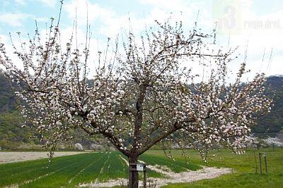Der Obstbaumlehrpfad Hamm führt an Baumreihen auf Flächen der Ortsgemeinde Taben-Rodt vorbei in direkter Nähe zur Saar.