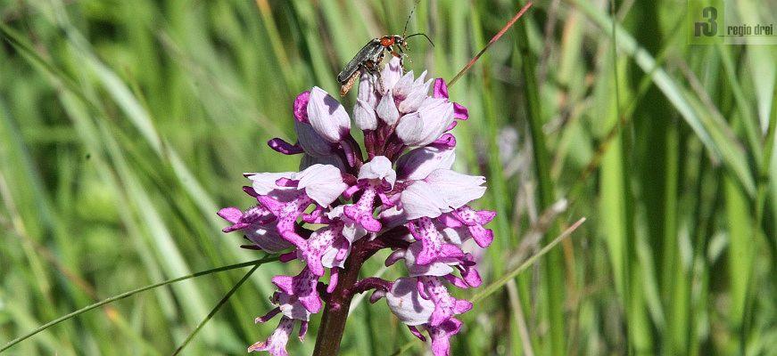 Viele Insekten und gefährdete Schmetterlingsarten sind im Naturschutzgebiet Eiderberg heimisch.