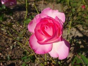 Der  Rosengarten in Saverne beheimatet ca. 8.500 Rosen in fast 800 Sorten.